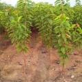 俄罗斯8号樱桃苗种植基地、山东樱桃苗基地