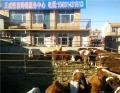 许昌肉牛销售种牛利木赞牛犊