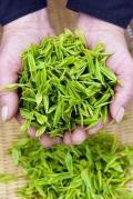 广州春茶2月绿茶明前茶红茶礼品茶办公茶广州春茶
