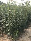 新品种玉露香梨树苗品种介绍、玉露香梨树苗价格多少