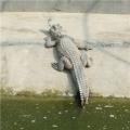 无皮鳄鱼肉批发价格丹东地区鳄鱼养殖场