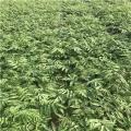 大棚红油香椿苗出售、大棚红油香椿苗基地