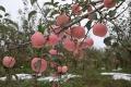2019年红富士苹果苗出售 红富士苹果苗供应