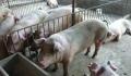 怎样提高母猪产仔率 猪吃什么长得快养猪一日长10斤