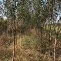 3公分苹果树 地径3公分苹果树 带冠结果苹果树